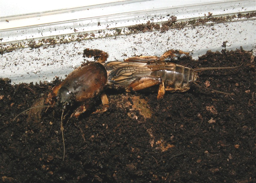 how to find a mole cricket new leaf
