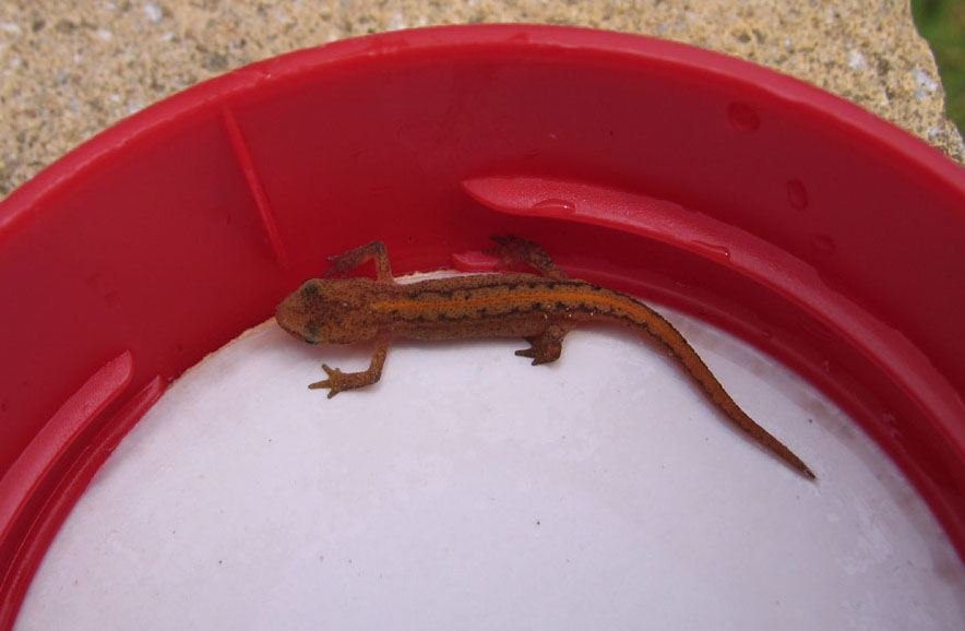 Superb ... Newt Seen In My Garden Today. I Have Attached A Photo. The Belly Had A  Broad Orange Stripe. I Am Not Sure If It Is A Juvenile Palmate Or Smooth  Newt.