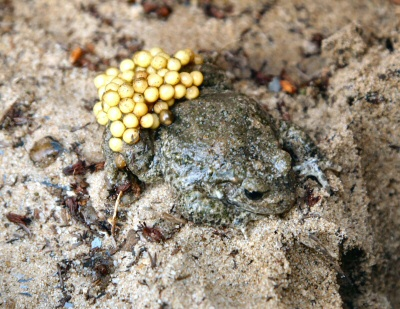 Midwife Toad - male with spawn