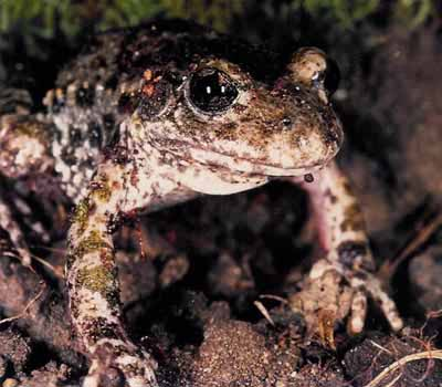 Midwife Toad - adult