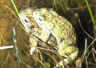 Natterjack Toad - pair in amplexus