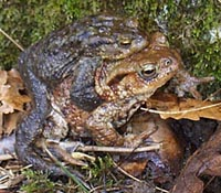 Common Toad - pair in amplexus