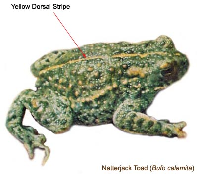 Natterjack Toad - Identification