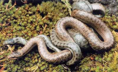 Smooth snake - mating pair