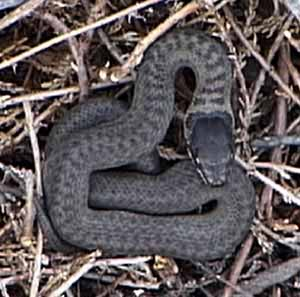 Smooth Snake - juvenile