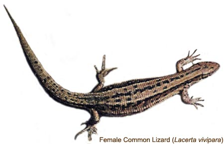 Common Lizard - female