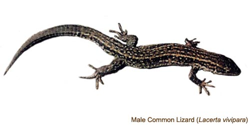 Common Lizard - male