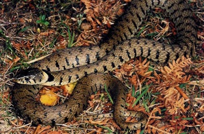 Grass Snake - female