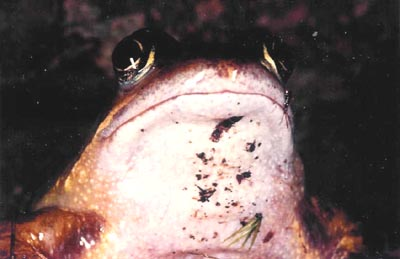 Common Frog face