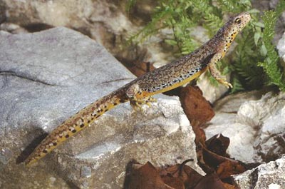Alpine Newt - female