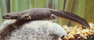Great Crested Newt - female