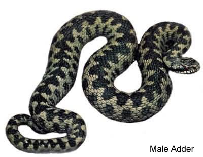 Adder or Viper - Vipera berus