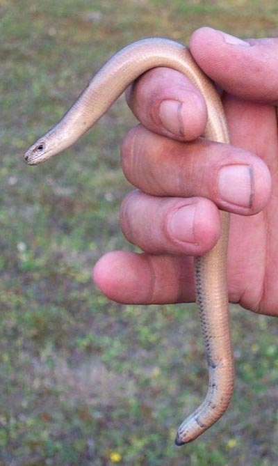 Slow-worm - adult male