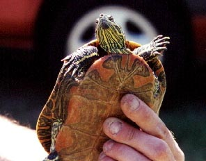 Red-bellied Slider