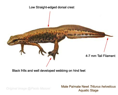 Palmate Newt -male - aquatic stage